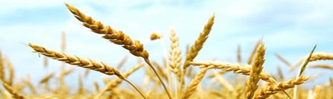 wheat-e1539022597690.jpg